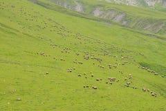 Pasto de ovejas en la montaña imagen de archivo