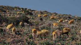 Pasto de ovejas en las colinas en Grecia almacen de video