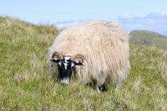 Pasto de ovejas escocesas del blackface, Skye, Escocia Imagen de archivo libre de regalías