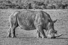 Pasto de rinoceronte imagen de archivo