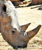 Pasto de rinoceronte Fotografía de archivo libre de regalías