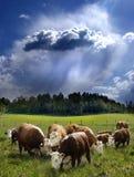 Pasto de vacas Imágenes de archivo libres de regalías
