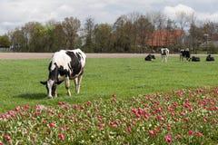Pasto de vacas cerca de un campo holandés del tulipán Fotografía de archivo