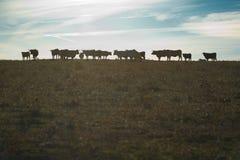 Pasto de vacas en la puesta del sol fotos de archivo