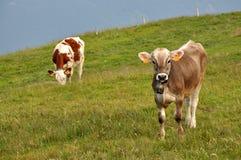 Pasto de vacas en pasto Foto de archivo libre de regalías