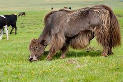 Pasto de yacs marrones Foto de archivo libre de regalías