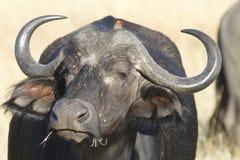 Pasto del búfalo Fotografía de archivo libre de regalías