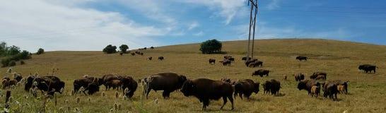 Pasto del bisonte Fotos de archivo