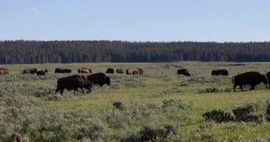 Pasto del bisonte almacen de metraje de vídeo