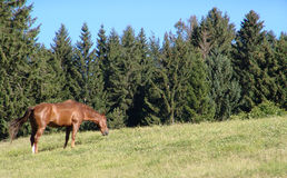 Pasto del caballo fotografía de archivo