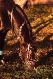 Pasto del caballo en la puesta del sol fotos de archivo libres de regalías