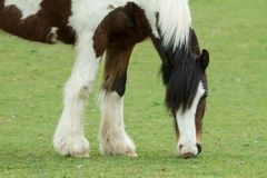 Pasto del caballo, Ovingdean, East Sussex, Reino Unido imagen de archivo
