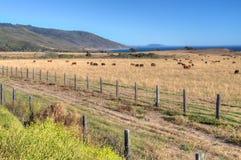 Pasto del ganado que pasa por alto el océano de Pacfiic Imagen de archivo