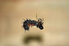 Pasto del ragno Immagini Stock