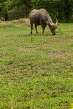 Pasto do búfalo de Tailândia. Imagem de Stock