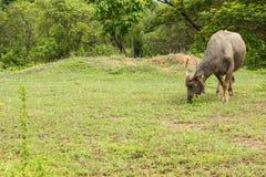Pasto do búfalo de Tailândia. Fotografia de Stock