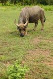 Pasto do búfalo de Tailândia. Foto de Stock