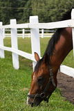 Pasto do cavalo Foto de Stock Royalty Free