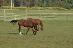 Pasto do ina dos cavalos de Georgeous Imagem de Stock