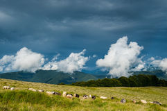 Pasto dos carneiros em montanhas Carpathian Foto de Stock