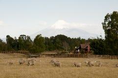 Pasto dos carneiros perto de Volcano Osorno - o Chile imagem de stock