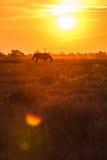 Pasto en la puesta del sol Fotografía de archivo