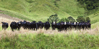 Pasto HOr das vacas Imagens de Stock Royalty Free