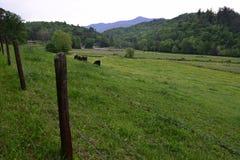 Pasto ocidental da vaca da exploração agrícola do NC Foto de Stock Royalty Free