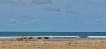 Pastor africano com um rebanho das vacas na praia Fotografia de Stock
