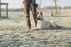 Pastor alambre-cabelludo holandés adulto rubio que miente al lado de su instructor en hierba congelada Fotos de archivo libres de regalías