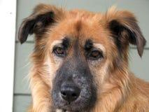 Pastor alemán/australiano Mix Dog Fotografía de archivo
