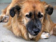 Pastor alemán/australiano Mix Dog Fotos de archivo