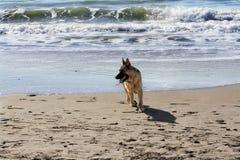 Pastor alemán de la raza del perro fotos de archivo libres de regalías