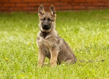 Pastor alemán del perrito foto de archivo libre de regalías