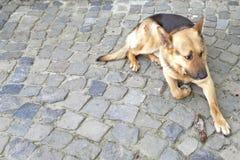 Pastor alemán del perro que miente en la pavimentación Imágenes de archivo libres de regalías