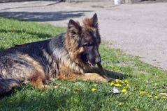 Pastor alemán Dog Fotografía de archivo libre de regalías