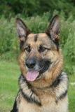Pastor alemán Dog Fotos de archivo