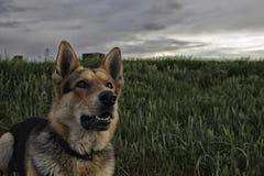Pastor alemán Dog Imagen de archivo libre de regalías
