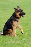 Pastor alemán Dog Foto de archivo libre de regalías