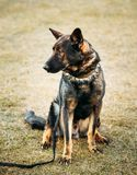 Pastor alemán Dog Close Up Imagenes de archivo