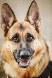 Pastor alemán Dog Close Up Foto de archivo libre de regalías