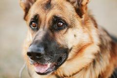 Pastor alemán Dog Close Up Fotografía de archivo