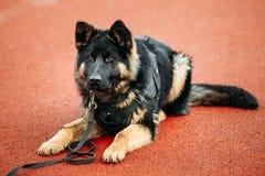 Pastor alemán Dog Close Up Fotografía de archivo libre de regalías