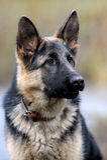 Pastor alemán Dog Portrait Imagenes de archivo