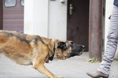 Pastor alemán Dog Waiting Fotos de archivo
