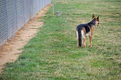 Pastor alemán en el parque del perro foto de archivo