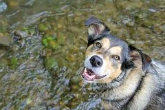 Pastor alemán feliz Mix Dog Swimming en corriente foto de archivo