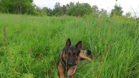 Pastor alemán feliz que pone en una hierba Cantidad constante lisa de la cámara La del verano metrajes