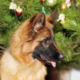Pastor alemán joven Dog delante del árbol de navidad Imagenes de archivo