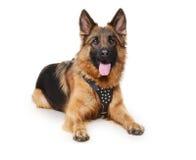 Pastor alemán joven Dog que miente contra el fondo blanco Dos años del animal doméstico Fotos de archivo libres de regalías